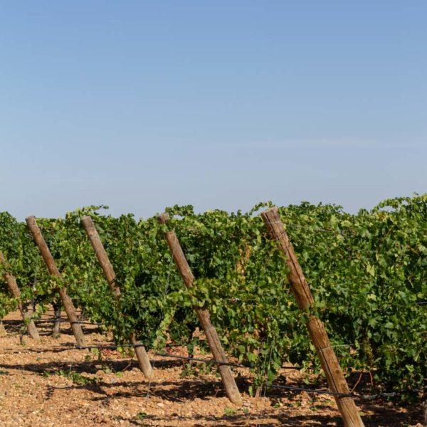 bodegas finca montepedroso viñedos